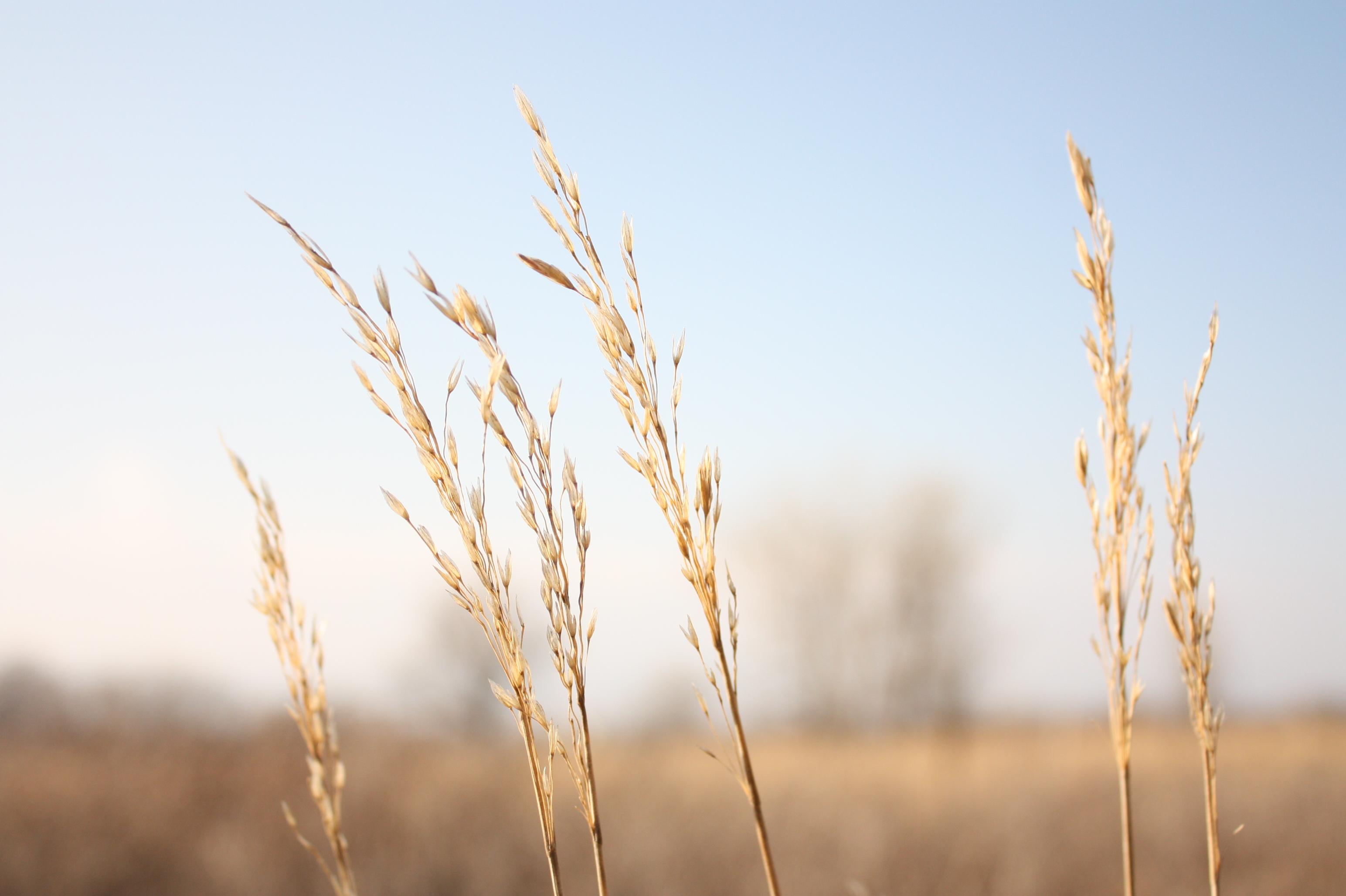 Tall grass eforunner for Like long grasses